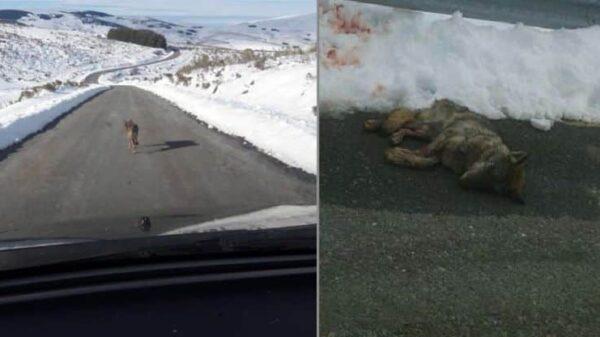 Dos de las imágenes del lobo publicadas la página de Facebook ''Gredos sin lobos'