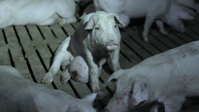 Cerdos mostrados en 'Salvados'