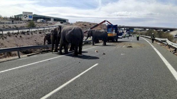Un grupo de elefantes tras el accidente del camión que les transportaba